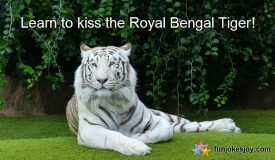 How to Kiss a Royal Bengal Tiger and Play with Him!