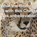 What Happens When the Cheetah Chases a Bear Cub?